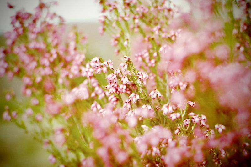 Flores de primavera - Brezo